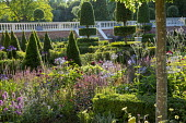 View across formal parterre, yew hedges, pyramids and topiary, Salvia nemorosa 'Caradonna'