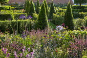View across border towards formal parterre, yew hedges, pyramids and topiary, Salvia nemorosa 'Caradonna'