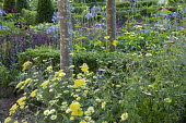 Perennial border, Achillea Moonshine', Verbena hastata f. rosea, Agapanthus 'Castle of Mey', Argyranthemum 'Cornish Gold'