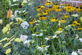 Echinacea purpurea 'Virgin', Helenium 'Wyndley', Achillea 'Moonshine', Kniphofia 'Orange Vanilla Popsicle'