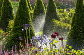 Irrigation system watering yew hedge parterre, Agapanthus 'Castle of Mey', Rosa 'Munstead Wood', Salvia nemorosa 'Caradonna'