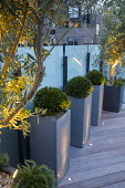 Clipped yew domes in tall containers on roof terrace at night, uplit olive trees, glass screens