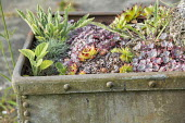 Sedum and sempervivums in old metal container