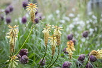 Kniphofia 'Tawny King', Allium sphaerocephalon