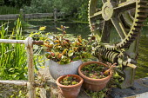 Sempervivums in pots by weir