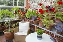 Chair with cushions in greenhouse, pelargoniums and succulents in pots on shelf, Ficus carica in terracotta pot, Aeonium arboreum var. atropurpureum