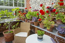 Chair with cushion in greenhouse, pelargoniums and succulents in pots on shelf, Ficus carica in terracotta pot, Aeonium arboreum var. atropurpureum