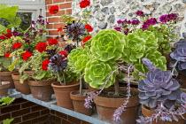 Pelargoniums and succulents in pots on greenhouse shelf, Aeonium arboreum var. atropurpureum
