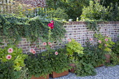 Dahlia 'Preference' and Fatsia japonica in containers against brick wall, Alcea rosea