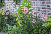 Dahlia 'Preference' and Fatsia japonica in containers against brick wall