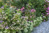 Hydrangea serrata 'Bluebird', Hydrangea macrophylla 'Black Steel Zambia', Hylotelephium (Herbstfreude Group) 'Herbstfreude' syn. Sedum spectabile 'Autumn Joy'