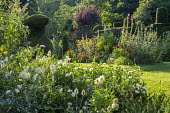 Dahlia 'Cactus White Star', yew topiary, fennel and hollyhocks in border