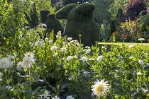 Dahlia 'Cactus White Star', yew topiary on lawn