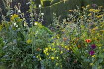 Achillea filipendulina 'Cloth of Gold', Dipsacus fullonum, solidago, yew hedge