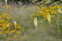 Kniphofia 'False Maid', Panicum elegans 'Frosted Explosion', Rudbeckia fulgida var. deamii