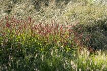 Pennisetum alopecuroides 'Gelbstiel', Persicaria amplexicaulis 'Firedance', Molinia caerulea subsp. arundinacea 'Transparent'