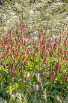 Persicaria amplexicaulis 'Firedance', Molinia caerulea subsp. arundinacea 'Transparent'