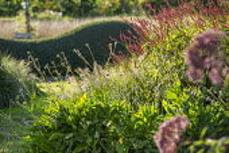Knautia godetii, Persicaria amplexicaulis 'Firedance', ligustrum hedge