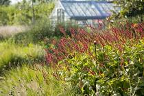 Persicaria amplexicaulis 'Firedance', Pennisetum alopecuroides 'Gelbstiel', greenhouse