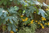 Ficus carica, Rudbeckia fulgida var. sullivantii 'Goldsturm', Rosmarinus officinalis Prostratus Group