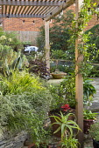 Urban courtyard garden, wooden pergola, Trachelospermum jasminoides, Agave americana 'Variegata', solenostemon, Phalaris arundinacea var. picta
