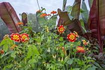 Dahlia 'Pooh', Ipomoea lobata, Ensete ventricosum 'Maurelii', Tithonia rotundiflora 'Torch'