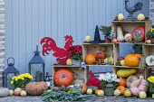 Harvest and halloween display in crates, harvested pumpkins, lanterns, chrysanthemums, metal cockerel ornament