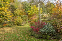 Autumn garden, Cornus controversa, Betula pendula 'Tristis' underplanted with Euonymus alatus 'Compactus', Catalpa bignonioides 'Aurea'