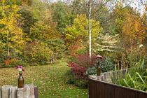 Autumn garden, Betula pendula 'Tristis' underplanted with Euonymus alatus 'Compactus', Catalpa bignonioides 'Aurea', cut flowers in brown glass bottles, gate, Cornus controversa