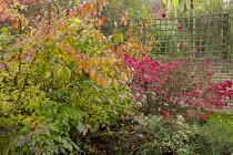 Viburnum plicatum and Euonymus alatus 'Compactus' in autumn garden, trellis screen