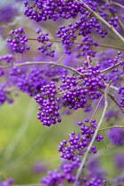 Callicarpa bodinieri var. giraldii 'Profusion' berries