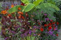Exotic garden, Ipomoea lobata, musa basjoo, canna, Verbena bonariensis, dahlia, Cyperus papyrus