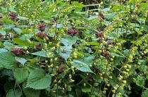 Lamium orvala, Tellima grandiflora