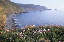 Armeria maritima on Devon coastline
