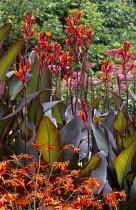Canna indica 'Purpurea', Crocosmia latifolia 'Castle Ward Late'