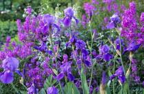 Irises, Hesperis matronalis