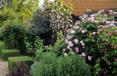Roses climbing over wall, clipped box cubes