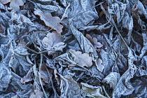 Fallen oak leaves in frost, winter pattern