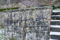 Espalier trained shriby against wall