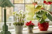 Helleborus niger, poinsettia and anthurium in red glazed container on windowsill