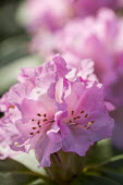 Rhododendron 'Christmas Cheer'