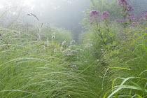 Eupatorium maculatum (Atropurpureum Group) 'Riesenschirm', Pennisetum alopecuroides 'Hameln', grass path