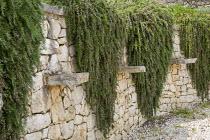 Trailing Rosmarinus officinalis 'Prostratus', syn Rosmarinus eriocalyx, Rosmarinus lavandulaceus on dry-stone wall