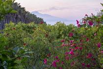 Rosa x odorata 'Mutabilis', Rosa chinensis 'Sanguinea', view to Mount Etna