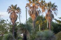 Washingtonia filifera underplanted with flowering Yucca rostrata syn. Yucca linearis, Yucca elephantipes