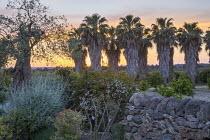 Avenue of Washingtonia filifera, stone wall, olive tree