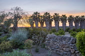 Avenue of Washingtonia filifera leading out into the citrus goves, stone wall boundary to the garden, olive tree