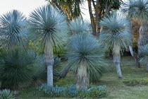 Yucca rostrata syn. Yucca linearis, Yucca elephantipes