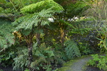 Cyathea australis in fernery