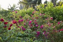 Rosa x odorata 'Mutabilis', Rosa chinensis 'Sanguinea'